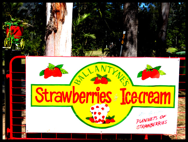 The Best Strawberrys on the planet