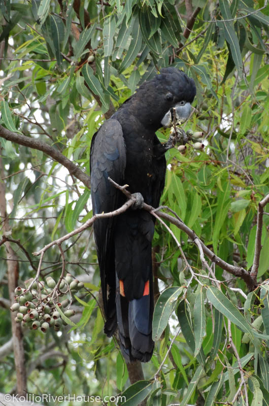 Red Tail Black Cockatoo